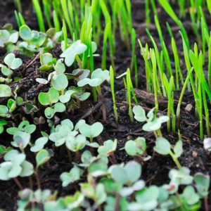 Microgreens micro vegetali